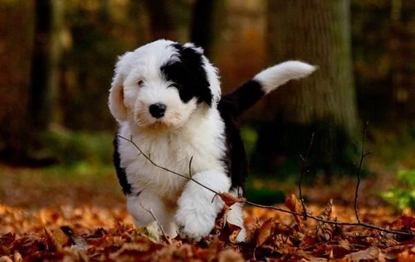 Бобтейл-собака-Описание-особенности-виды-уход-и-цена-породы-бобтейл-9