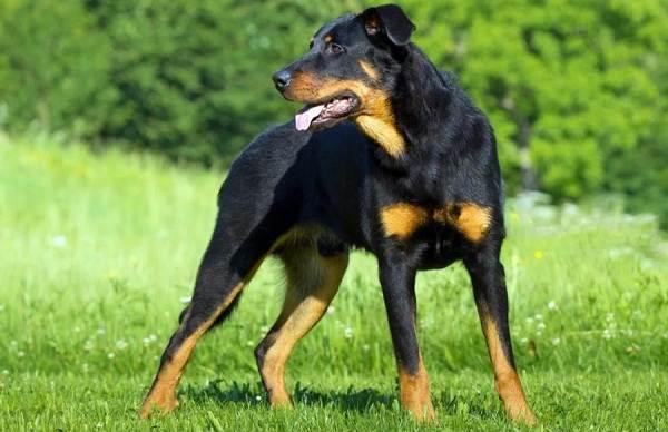 Босерон-собака-Описание-особенности-виды-уход-и-цена-породы-босерон-1