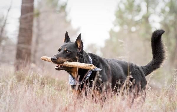 Босерон-собака-Описание-особенности-виды-уход-и-цена-породы-босерон-10