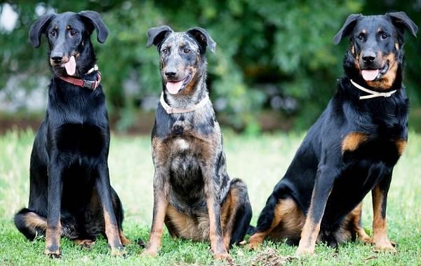 Босерон-собака-Описание-особенности-виды-уход-и-цена-породы-босерон-13