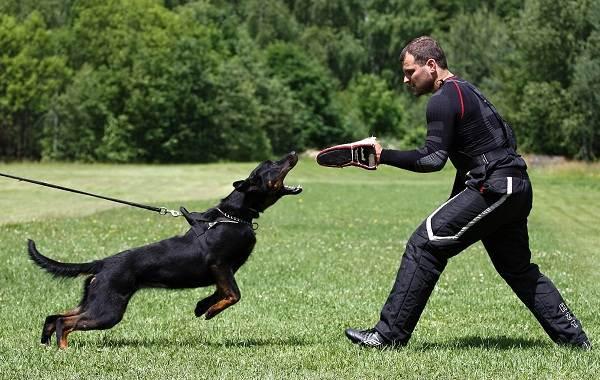 Босерон-собака-Описание-особенности-виды-уход-и-цена-породы-босерон-15