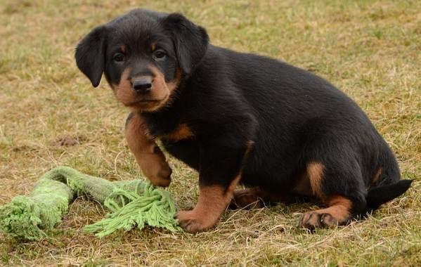 Босерон-собака-Описание-особенности-виды-уход-и-цена-породы-босерон-16