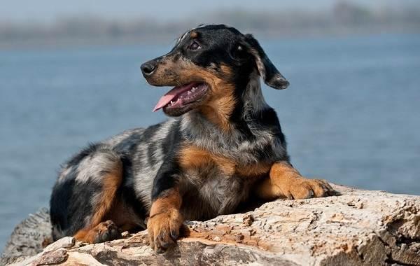 Босерон-собака-Описание-особенности-виды-уход-и-цена-породы-босерон-18
