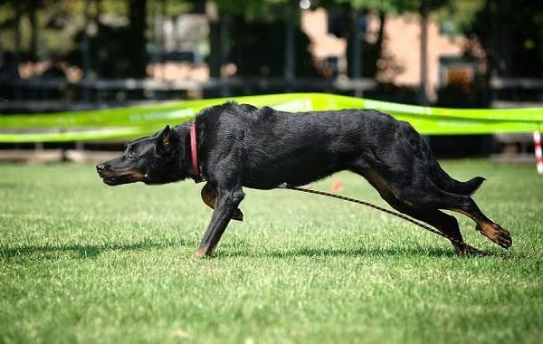 Босерон-собака-Описание-особенности-виды-уход-и-цена-породы-босерон-2