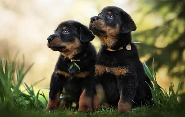 Босерон-собака-Описание-особенности-виды-уход-и-цена-породы-босерон-4