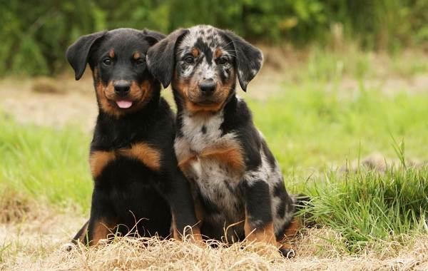 Босерон-собака-Описание-особенности-виды-уход-и-цена-породы-босерон-6