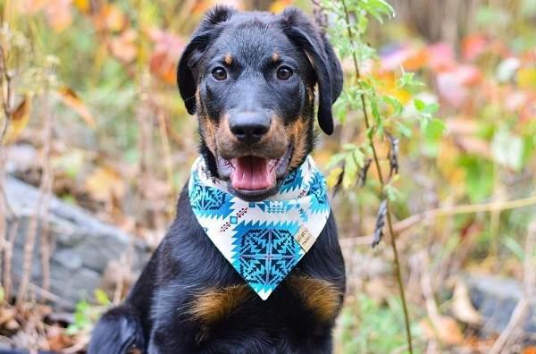 Босерон-собака-Описание-особенности-виды-уход-и-цена-породы-босерон-8