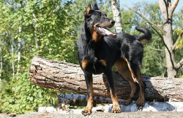 Босерон-собака-Описание-особенности-виды-уход-и-цена-породы-босерон-9