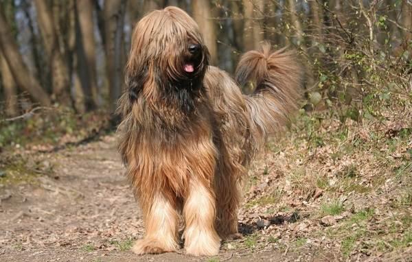 Бриар-собака-Описание-особенности-виды-уход-и-цена-породы-бриар-1