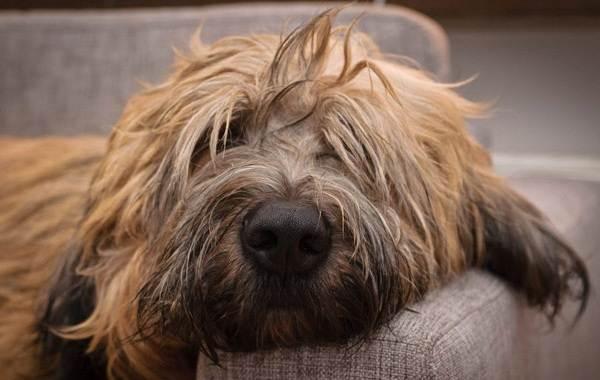Бриар-собака-Описание-особенности-виды-уход-и-цена-породы-бриар-10