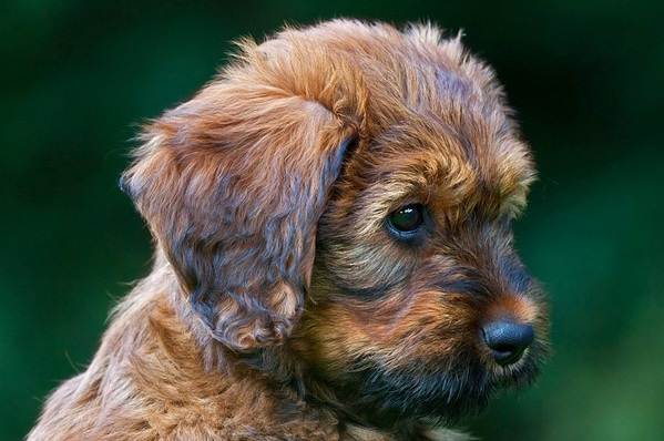 Бриар-собака-Описание-особенности-виды-уход-и-цена-породы-бриар-11