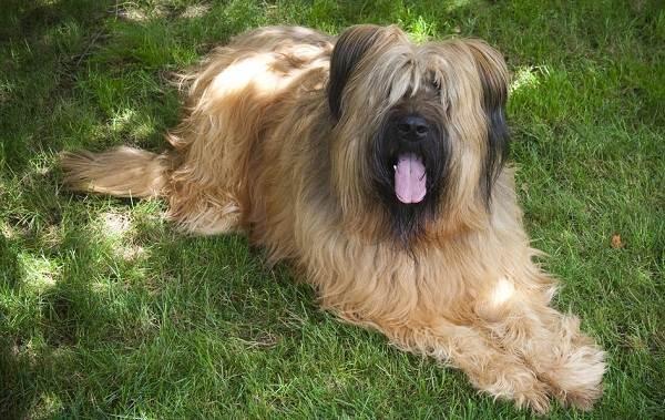 Бриар-собака-Описание-особенности-виды-уход-и-цена-породы-бриар-12