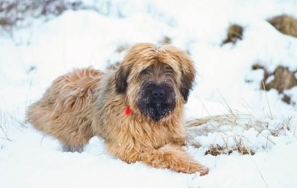 Бриар-собака-Описание-особенности-виды-уход-и-цена-породы-бриар-13