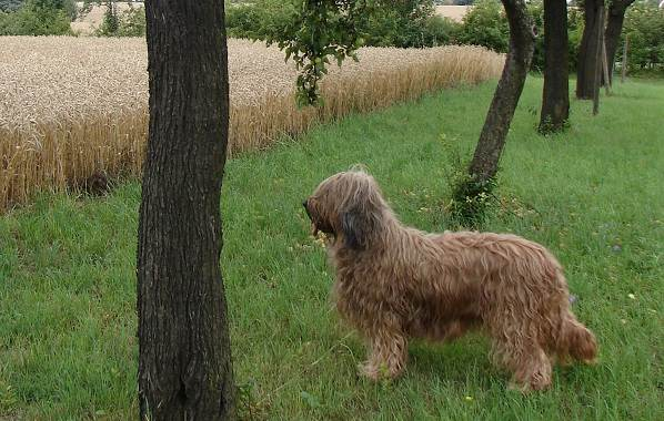 Бриар-собака-Описание-особенности-виды-уход-и-цена-породы-бриар-14