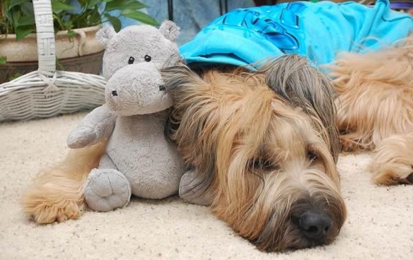 Бриар-собака-Описание-особенности-виды-уход-и-цена-породы-бриар-15