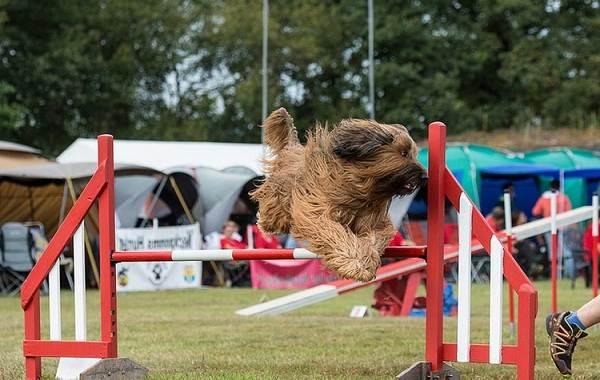 Бриар-собака-Описание-особенности-виды-уход-и-цена-породы-бриар-18