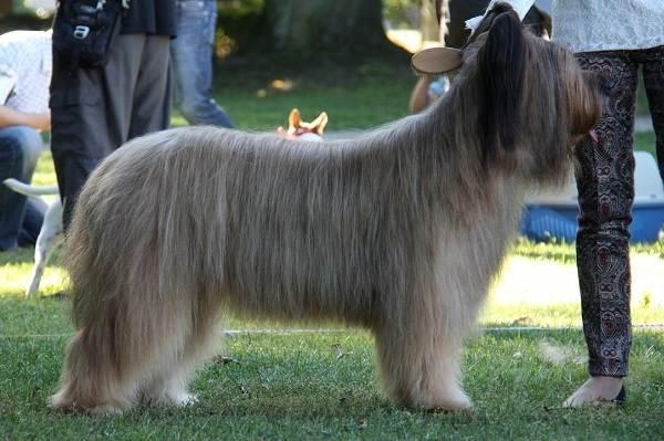 Бриар-собака-Описание-особенности-виды-уход-и-цена-породы-бриар-19