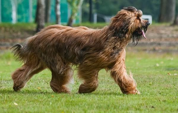 Бриар-собака-Описание-особенности-виды-уход-и-цена-породы-бриар-2