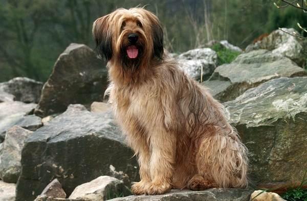 Бриар-собака-Описание-особенности-виды-уход-и-цена-породы-бриар-3