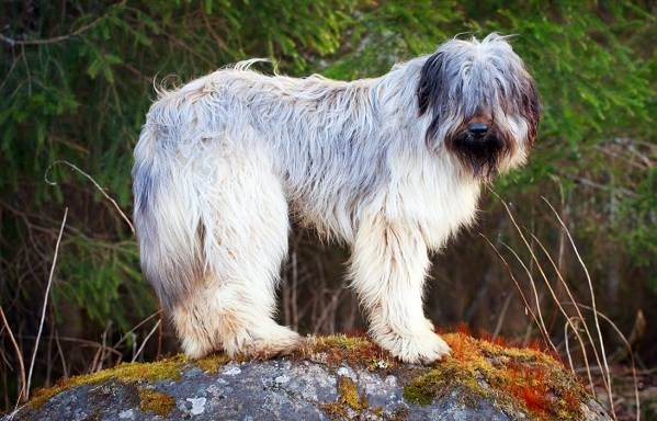 Бриар-собака-Описание-особенности-виды-уход-и-цена-породы-бриар-4