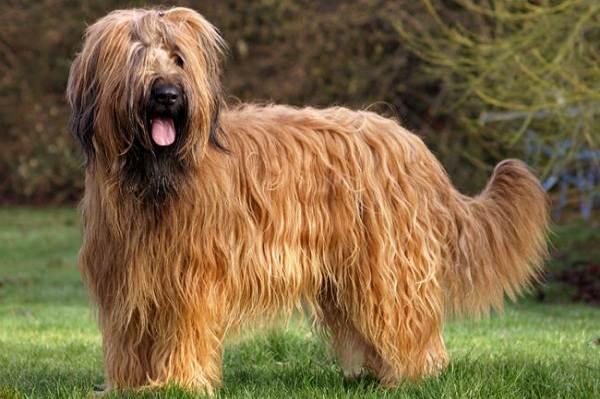 Бриар-собака-Описание-особенности-виды-уход-и-цена-породы-бриар-5