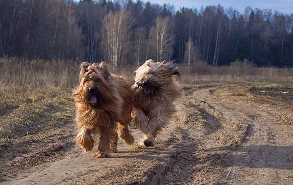 Бриар-собака-Описание-особенности-виды-уход-и-цена-породы-бриар-6