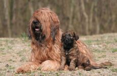 Бриар собака. Описание, особенности, виды, уход и цена породы бриар