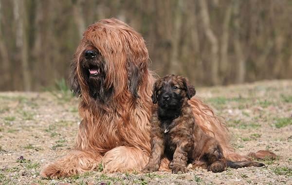 Бриар-собака-Описание-особенности-виды-уход-и-цена-породы-бриар-7