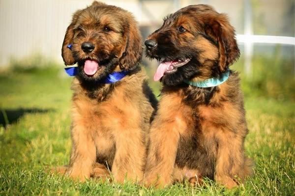 Бриар-собака-Описание-особенности-виды-уход-и-цена-породы-бриар-8