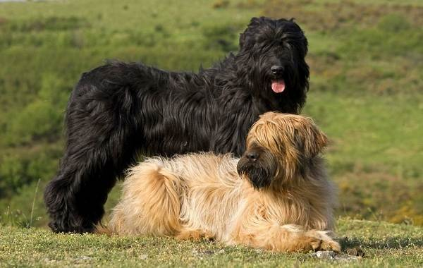 Бриар-собака-Описание-особенности-виды-уход-и-цена-породы-бриар-9