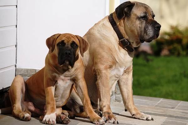 Бурбуль-собака-Описание-особенности-виды-уход-и-цена-породы-бурбуль-1