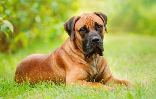 Бурбуль-собака-Описание-особенности-виды-уход-и-цена-породы-бурбуль-10