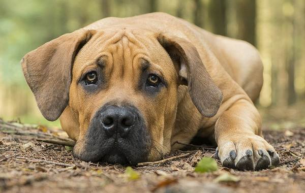 Бурбуль-собака-Описание-особенности-виды-уход-и-цена-породы-бурбуль-11