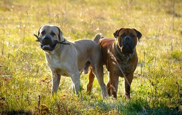 Бурбуль-собака-Описание-особенности-виды-уход-и-цена-породы-бурбуль-14