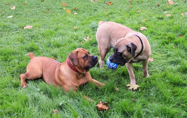 Бурбуль-собака-Описание-особенности-виды-уход-и-цена-породы-бурбуль-15