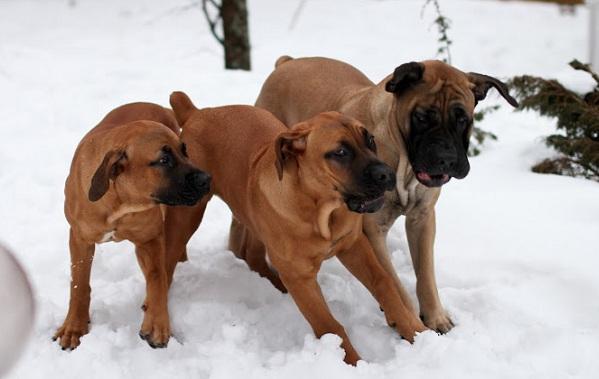 Бурбуль-собака-Описание-особенности-виды-уход-и-цена-породы-бурбуль-17