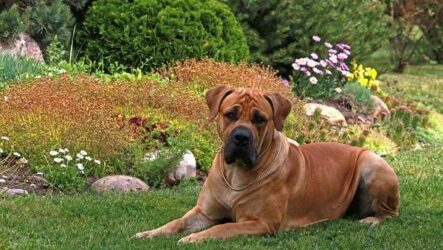 Бурбуль собака. Описание, особенности, виды, уход и цена породы бурбуль