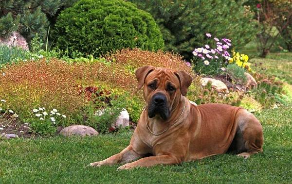 Бурбуль-собака-Описание-особенности-виды-уход-и-цена-породы-бурбуль-4