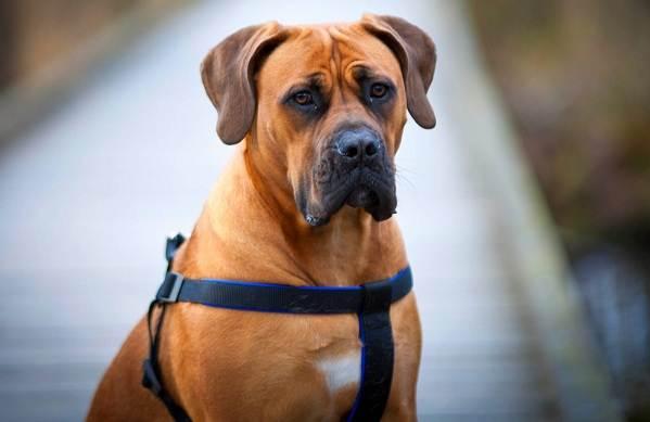 Бурбуль-собака-Описание-особенности-виды-уход-и-цена-породы-бурбуль-6