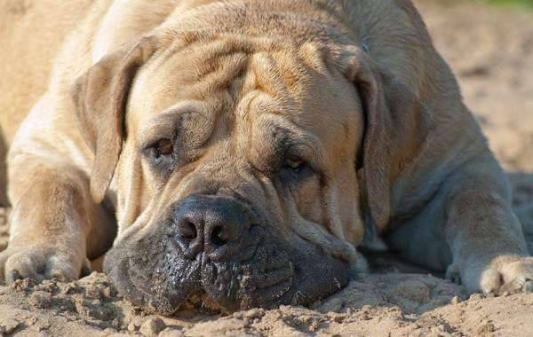 Бурбуль-собака-Описание-особенности-виды-уход-и-цена-породы-бурбуль-7