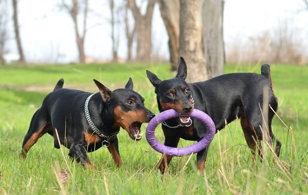 Цвергпинчер-собака-Описание-особенности-виды-уход-и-цена-породы-цвергпинчер-1