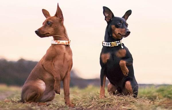 Цвергпинчер-собака-Описание-особенности-виды-уход-и-цена-породы-цвергпинчер-11