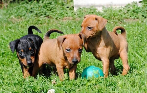 Цвергпинчер-собака-Описание-особенности-виды-уход-и-цена-породы-цвергпинчер-12