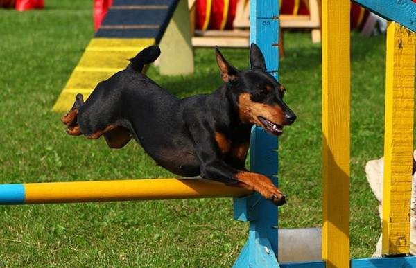 Цвергпинчер-собака-Описание-особенности-виды-уход-и-цена-породы-цвергпинчер-13
