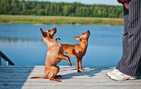 Цвергпинчер-собака-Описание-особенности-виды-уход-и-цена-породы-цвергпинчер-14