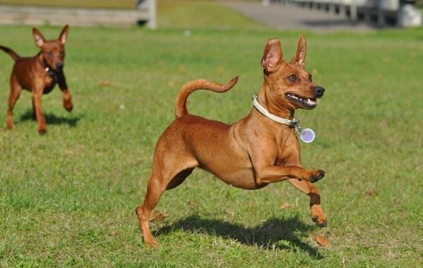 Цвергпинчер-собака-Описание-особенности-виды-уход-и-цена-породы-цвергпинчер-16