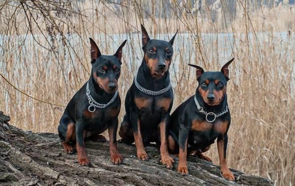 Цвергпинчер-собака-Описание-особенности-виды-уход-и-цена-породы-цвергпинчер-2