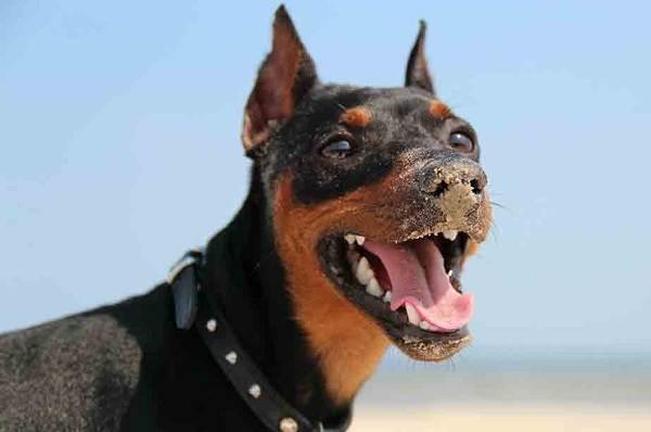 Цвергпинчер-собака-Описание-особенности-виды-уход-и-цена-породы-цвергпинчер-4