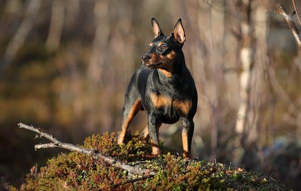 Цвергпинчер-собака-Описание-особенности-виды-уход-и-цена-породы-цвергпинчер-5