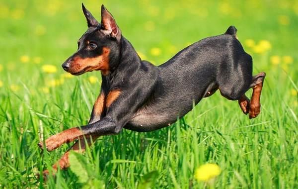 Цвергпинчер-собака-Описание-особенности-виды-уход-и-цена-породы-цвергпинчер-7